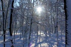 De bomen van de winter in sneeuw Royalty-vrije Stock Foto's