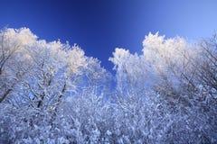 De bomen van de winter tegen blauwe hemel Royalty-vrije Stock Afbeeldingen