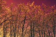 De bomen van de winter tegen de rode hemel Stock Afbeelding