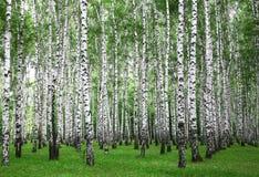 De bomen van de zomerberken stock afbeelding