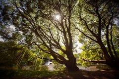De bomen van de zonlichttrog Stock Foto's