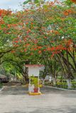 De bomen van Delonixregia, met hun kleine rode bloemen stock afbeelding