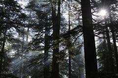 De bomen van Deodara Stock Foto