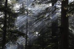 De bomen van Deodara Stock Fotografie