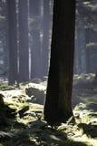 De bomen van Deodara Stock Afbeeldingen