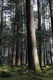 De bomen van Deodara Stock Afbeelding