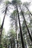 De bomen van Deodara Royalty-vrije Stock Afbeeldingen