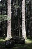 De bomen van Deodara in volledig licht Royalty-vrije Stock Afbeeldingen