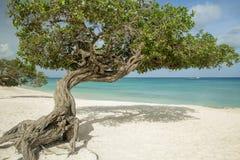 De bomen van Dividivi op Eagle-strand - Aruba Stock Afbeeldingen