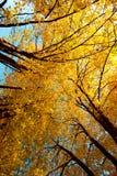 De bomen van esdoorns in de herfst Royalty-vrije Stock Afbeeldingen
