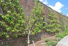 De bomen van Espalier Stock Fotografie