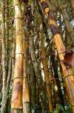 De Bomen van het bamboe Stock Afbeelding