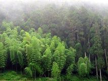 De Bomen van het bamboe en van de Cipres Stock Foto