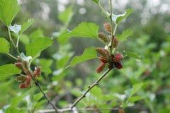 De bomen van het moerbeiboomfruit Stock Afbeeldingen