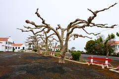 De bomen van het vliegtuig met horizontaal gevormd de kroon Stock Foto