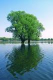 De bomen van het water Stock Foto's