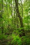De Bomen van houtwijnstokken Stock Foto