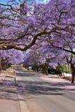 De bomen van Jacaranda Royalty-vrije Stock Afbeeldingen