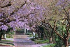 De Bomen van Jacaranda stock afbeelding