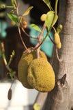 De Bomen van Jackfruit Stock Foto's