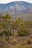 De Bomen van Joshua Royalty-vrije Stock Foto's