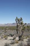 De bomen van Joshua in Arizona Stock Afbeelding