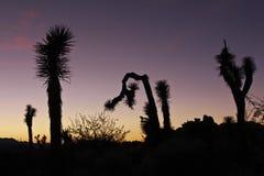 De bomen van Joshua, silhouet Royalty-vrije Stock Foto