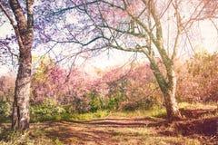 De bomen van de kersenbloesem op bloeiende aardachtergrond Royalty-vrije Stock Afbeelding