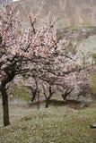 De bomen van kersenblossum met dalende roze bloemen op groen gras royalty-vrije stock foto