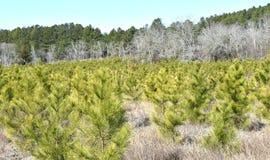 De Bomen van de Loblollypijnboom in Zuid-Carolina Royalty-vrije Stock Afbeelding