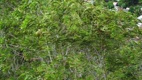 De bomen van Melaleucaalternifolia stock footage