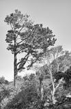 De Bomen van Monterey Stock Afbeeldingen