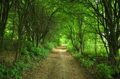 De bomen van de mysticusmanier Stock Fotografie