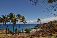 De Bomen van palmen in Hawaï Stock Foto