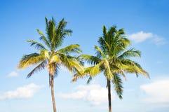De bomen van palmen op het strand Stock Foto