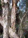 De Bomen van PaperBark Royalty-vrije Stock Foto's