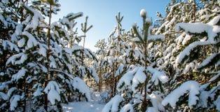 De bomen van de pijnboom die met sneeuw worden behandeld stock afbeeldingen