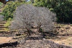 De bomen van de Plumeriabloem bij de ru?nes van de Khmer tempel van Vatphou, Laos stock afbeeldingen