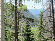 De Bomen van Rocky Mountain Quaking Aspen en van de Pijnboom royalty-vrije stock afbeeldingen