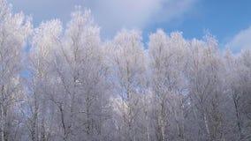 De bomen van de winter op blauwe hemel stock videobeelden