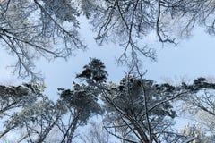 De bomen van de de winterpijnboom in sneeuw bekijken neer omhoog Mening van grote boomvorm neer tot de boombovenkant op een blauw Royalty-vrije Stock Afbeelding