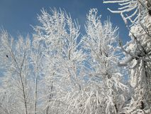 De bomen zijn wit wegens sneeuw Stock Afbeelding