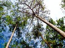 De bomenachtergrond van de aardpijnboom door kraaientakken en trillende blauwe hemel wordt behandeld die stock foto's