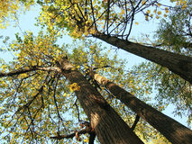 De bomenlinde van de zon Royalty-vrije Stock Foto