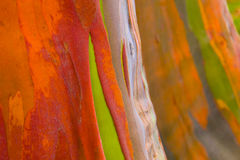 De Bomenschors van de regenboogeucalyptus Royalty-vrije Stock Afbeelding