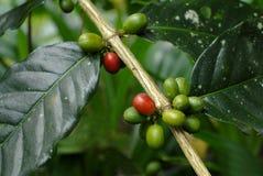 De bonen van de koffie. Stock Foto