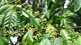 De bonen van de koffie stock footage