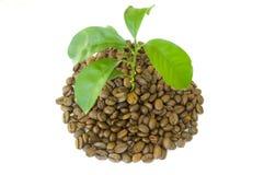 De bonen van de koffie aan spruit Royalty-vrije Stock Afbeeldingen