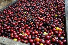 De bonen van de koffie Guatemala Stock Afbeeldingen