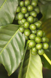 De Bonen van de koffie op de Tak Stock Foto's